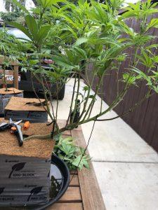Bending cannabis technique