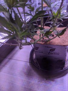 Bending Technique Cannabis